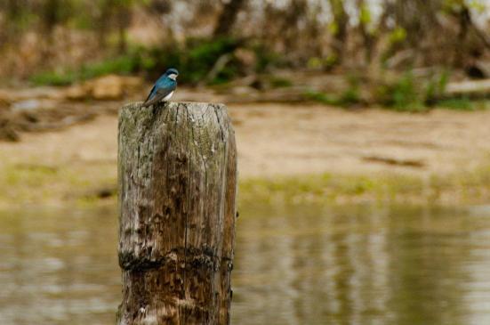 Tree swallow, Dyke Marsh Wildlife Preserve