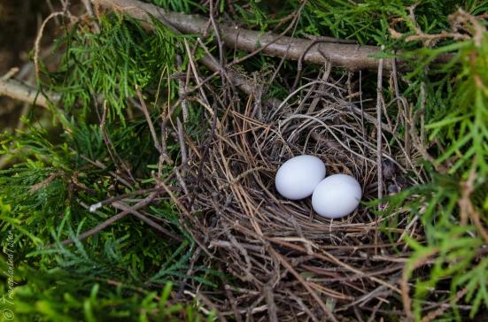 Dove nest with eggs