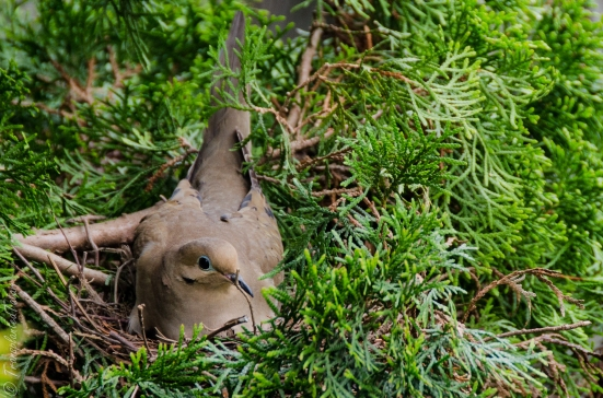 Mourning dove in her nest