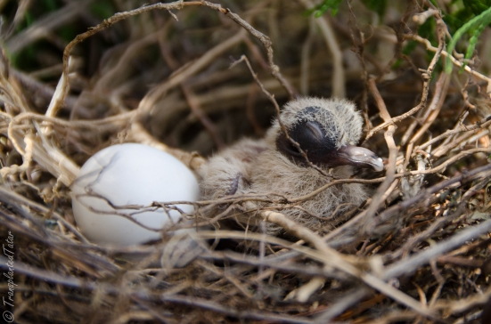 Mourning dove hatchling