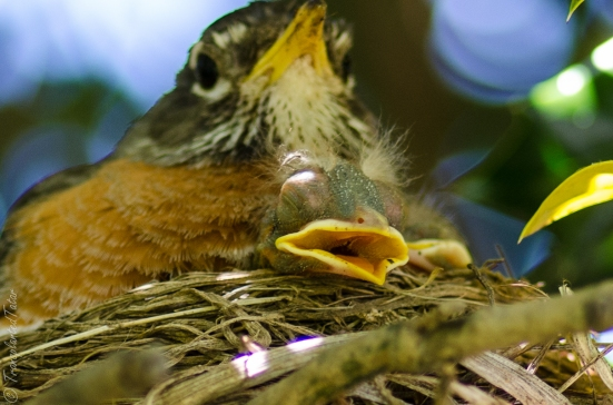 Robin with her two babies in her nest