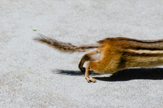 Chipmunk, running