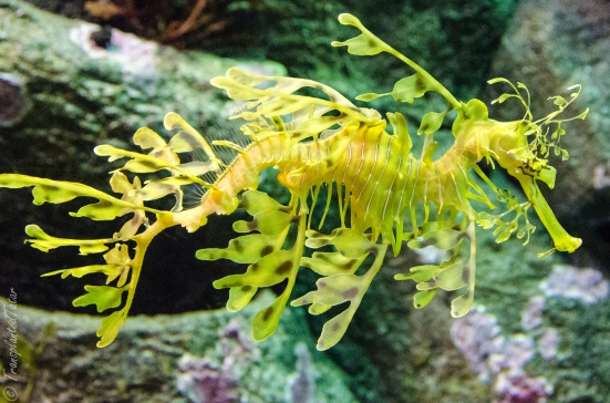 Sea horse at the Monterey Bay Aquarium
