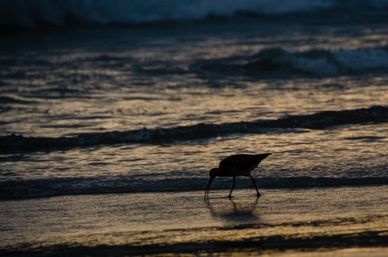 Curlew on Carmel beach at sunset, CA