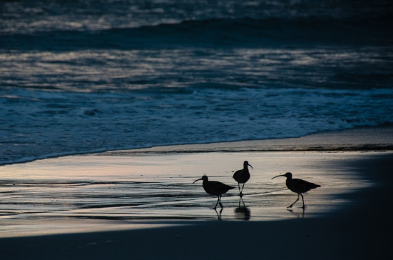Curlews on the beach in Carmel-by-the-Sea, CA
