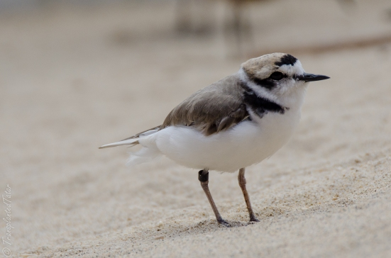 Western snowy plover at the aviary of the Monterey Bay Aquarium