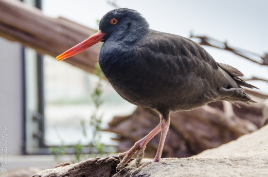 Black oystercatcher at the aviary of the Monterey Bay Aquarium