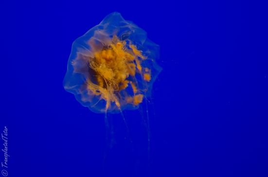 Jellies at the Monterey Bay Aquarium