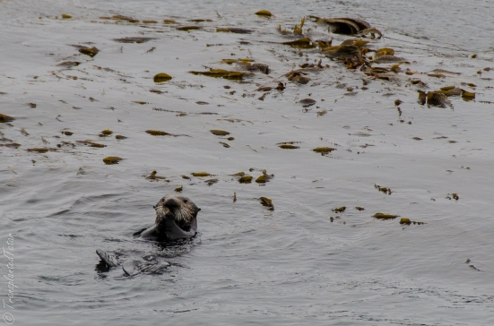 Southern sea otter swimming in Monterey Bay