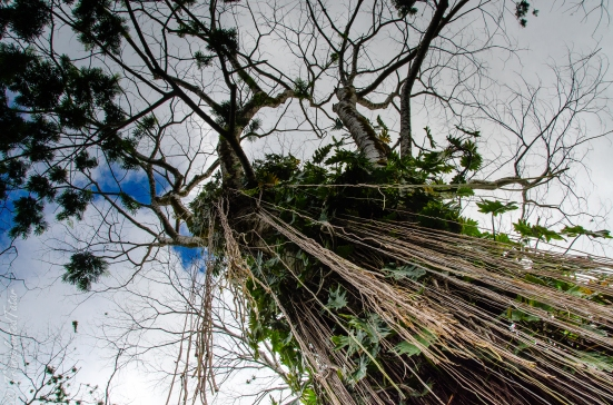 Giant tree, Akaka Falls State Park, Hawaii