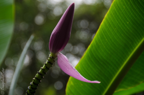 Bud of a banana flower, Akaka Falls State Park, Hawaii