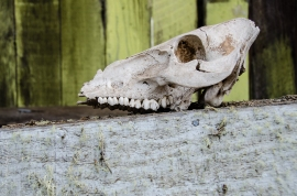 Skull on an abandoned farm, Saddle Road, Big Island, Hawaii