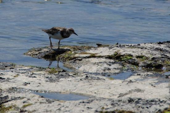 Shorebird at Kaloko-Honokohau National Historical Park, Big Island, Hawaii
