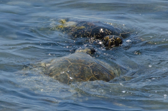 Green Sea Turtles at the Kaloko-Honokohau National Historical Park