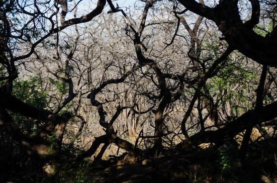 Trees along The Malama Petroglyh Trail, Puako Petroglyph Archaeological Preserve , Big Island, Hawaii
