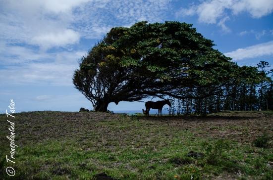 Tree at Sound Point, Big Iland, Hawaii