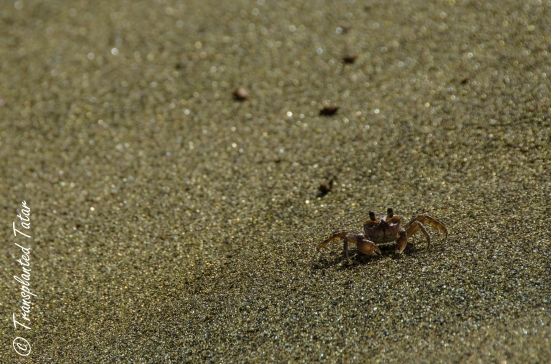 Crab crawling on Green Sand Beach