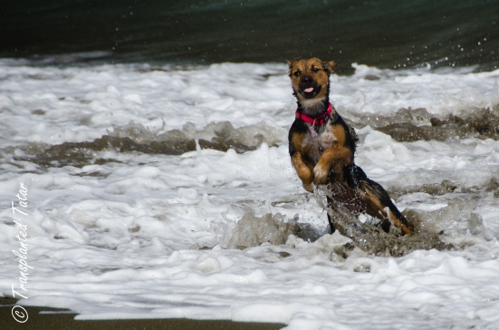 Dog in the waves off Green Sand Beach, Hawaii