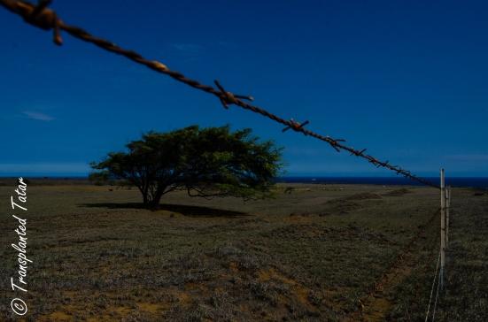 Windblown tree near South Point, Hawaii