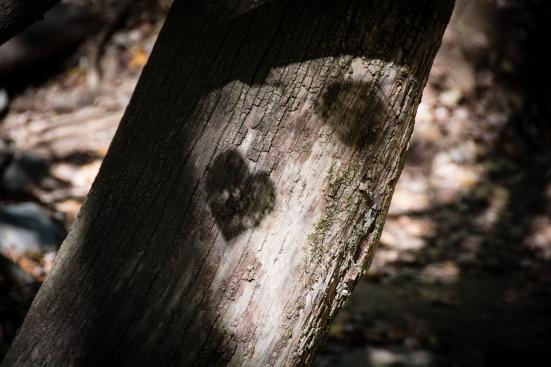 heart-shaped leaf shade on tree bark, great falls, va