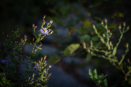 Aster by Great Falls in VA