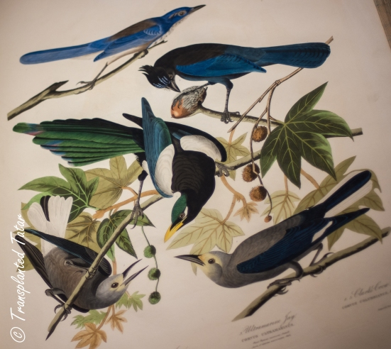 John James Audubon, The Birds of America, Huntington Library