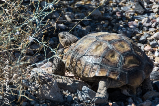 desert tortoise in Death Valley National Park
