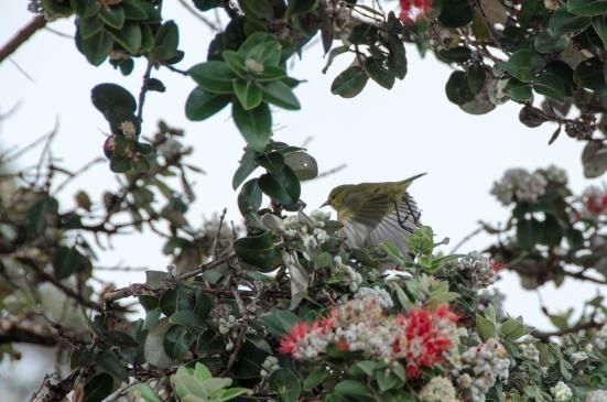 Yellow bird in ohi'a tree, Hawai'i Volcanoes National Park